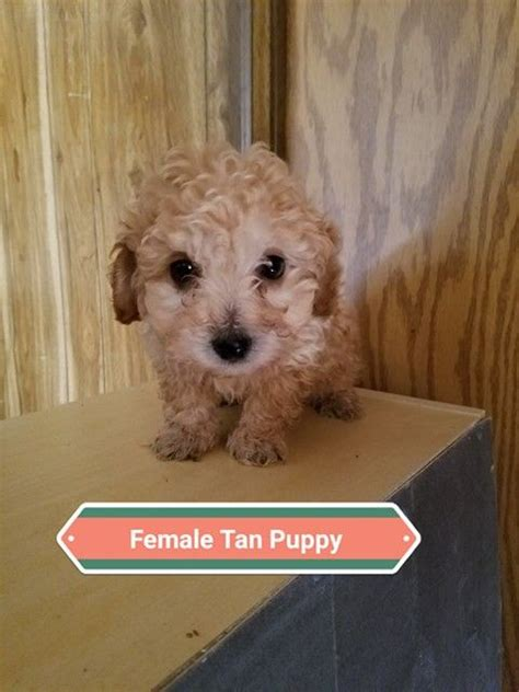 Litter of 3 Maltipoo puppies for sale in DENVER, CO