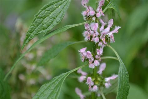 Creating a Local Materia Medica With Motherwort – Herbal