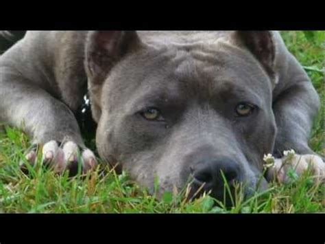 Mind Changing Kennels American Bandogs - YouTube