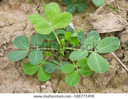 Peanut Plant Stock Images, Royalty-Free Images & Vectors