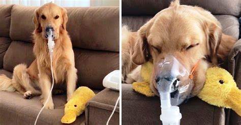 Sick dog patiently obeys his owner when using nebulizer device