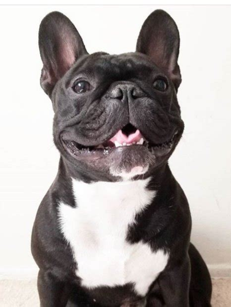 59 HQ Pictures French Bulldog Puppies South Florida