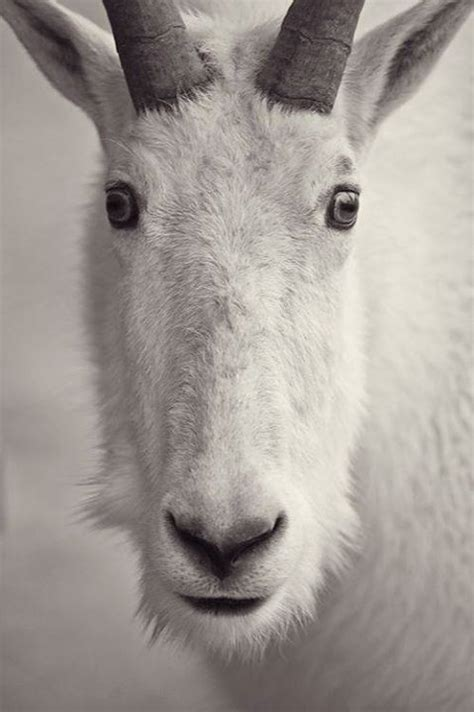 72 best Rocky Mountain Goat images on Pinterest   Mountain
