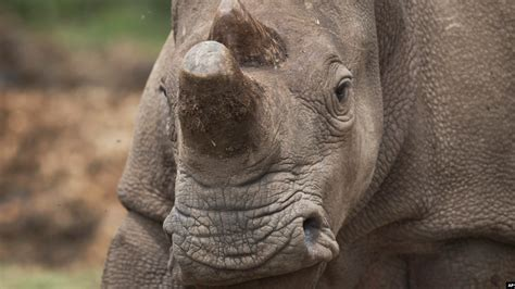 Conservationists Try to Save Rare Rhino
